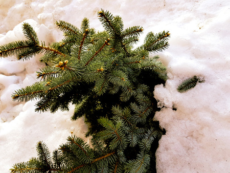 Very beautiful Christmas tree and blue spruce in a snowdrift on a background of snow in winter or spring