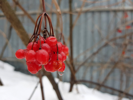 Beautiful juicy bunch of viburnum or mountain ash on a background of snow in winter or spring