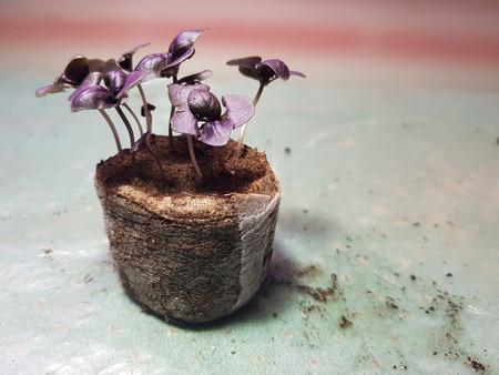 Little seedlings - very beautiful seedlings of basil in a pot Stok Fotoğraf