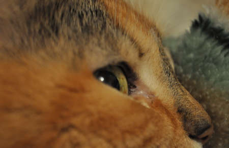 A multicolored and Golden cat watches with one eye