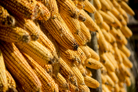 hometown: Hometown harvest corn Stock Photo
