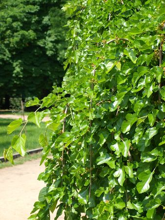 The leaves of mulberry tree in the park close to the background of large trees