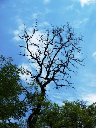 dryness branch of acacia background on blue sky with white clouds