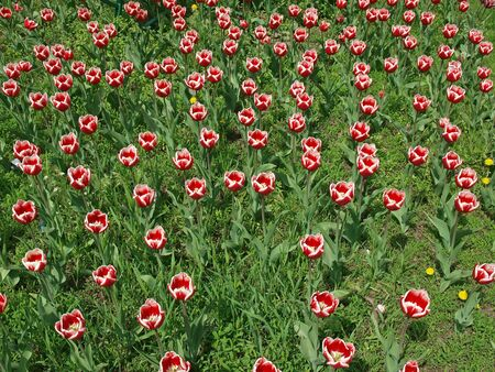 side views: Large lawn, which grow red and white tulips, top and side views Stock Photo
