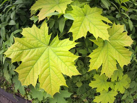 distortion: Green maple leaves close up with wide angle distortion view Stock Photo