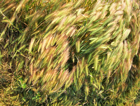 spikelets: Top view on the dry grass of the lawn with wide angle distortion view Stock Photo