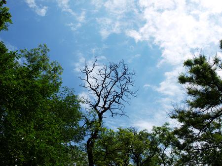 leafed: Leafless tree of acacia Stock Photo