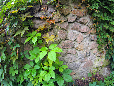 entwine: Wet and green shoots of wild grapes entwine the old wall of large stones Stock Photo