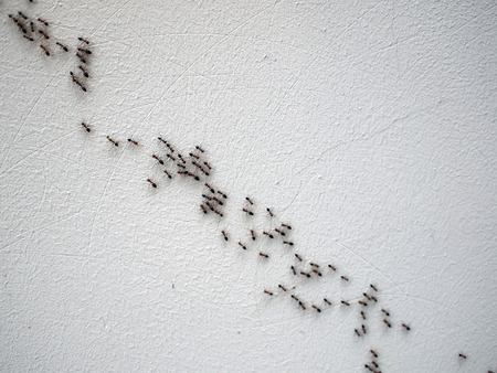 ants: Group of ants following each other in a chain on a white wall on a diagonal image