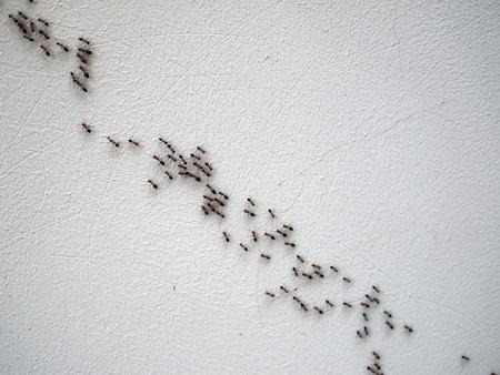 hormiga: Grupo de hormigas siguiendo uno al otro en una cadena en una pared blanca en una diagonal de imagen Foto de archivo