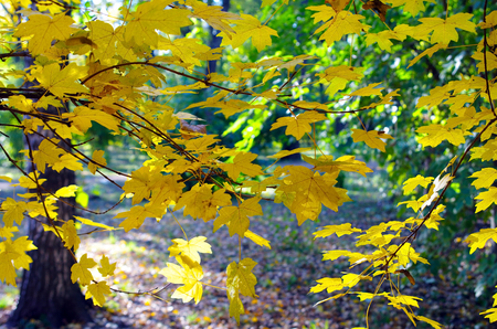 focus on the foreground: Maple branches with yellow leaves in the foreground illuminated by bright autumn sun backlit. Selective focus and a blurred background.