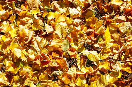 defoliation: Overhead view vivid autumn leaves on linden trees after defoliation to be used as a background