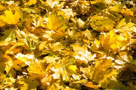 fallin: Selective focus on a set of yellow autumn fallen maple leaves close-up that lie thick on the lawn.