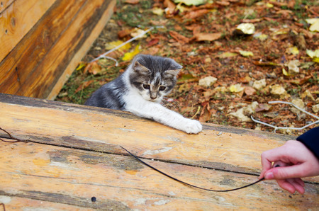 waif: Small pretty kitten playing in the autumn park with a stick on a wooden platform. Selective focus with shallow depth of field. Stock Photo