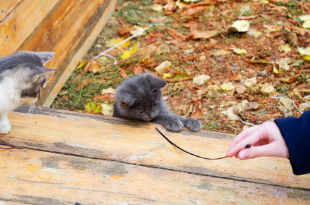 waif: Two pretty little kitten playing in the autumn park with a stick on a wooden platform . Selective focus with shallow depth of field.