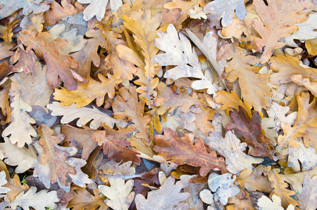 leaves falling: Top view of a layer of fallen oak leaves on the lawn of green grass in the forest Stock Photo