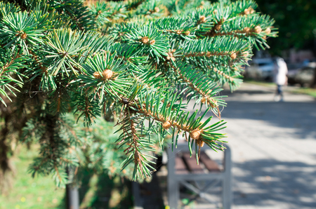 small field: Conifer branch with a small field of focus on the background of a city street. Selective focus. Stock Photo