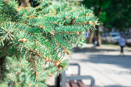 small field: The branch of spruce with a small field of focus on the background of a city street