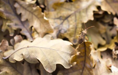 Small beetle sitting on a fallen oak leaves with shallow depth of focus Stock Photo