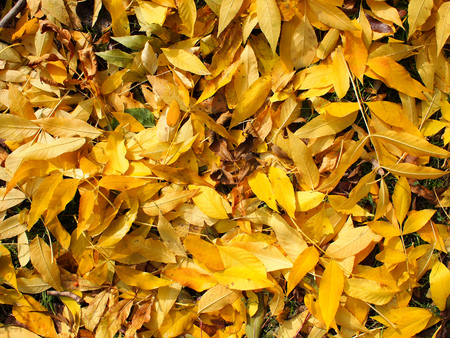 Top view of fallen ashen leaves on a lawn in the park