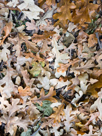 Top view of the fallen brown oak leaves on the surface of the lawn for use as a background.