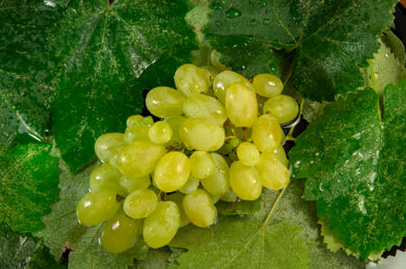 Wet grapes with water drops on a background of close up leaves