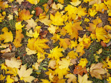 Top view of yellow maple leaves on autumn lawn with yellowed grass. Stock Photo