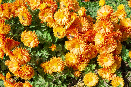 Autumn orange flowers with bees on flowers on a sunny day close-up for use as a background.