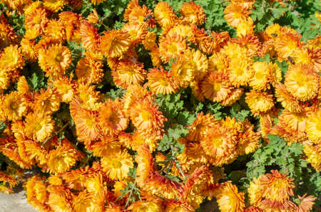 Autumn orange flowers with bees and insects on a sunny day close-up for use as a background.