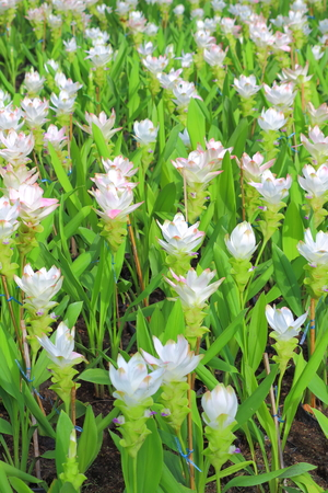 curcuma: Curcuma alismatifolia, Siam tulip or summer tulip Stock Photo