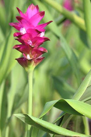 siam: Curcuma alismatifolia, Siam tulip or summer tulip Stock Photo