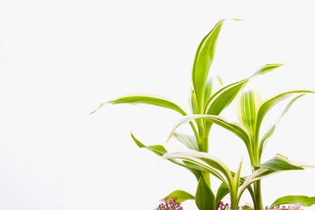 Dracaena sanderiana on white background Stock Photo