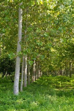 poplars: plantation of poplars