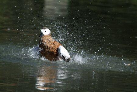 racconigi: ducks; LIPU oasis Racconigi  Italy