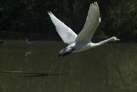 racconigi: wild geese in flight; LIPU oasis Racconigi  Italy