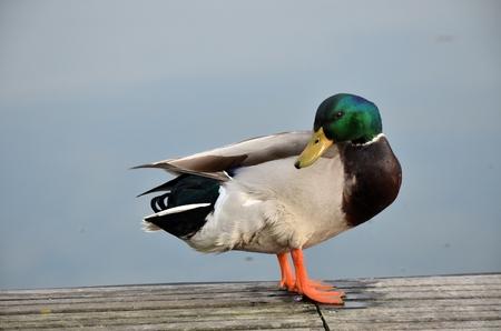 pato real: Mallard