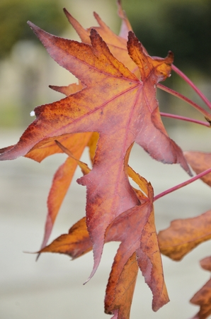natures: red leaves