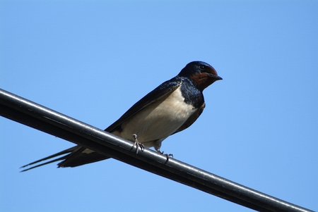 Birds and animals in wildlife. The swallow feeds the baby birds nesting, in a car box.