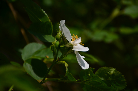 White flower of Iron Wood blooming on tree, Indian rose chestnut tree