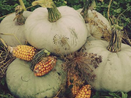 mini farm: Pumpkin Stock Photo