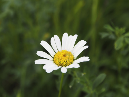 margarite: Daisy