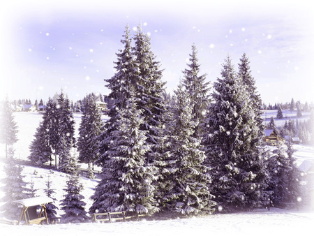 frostbitten: Christmas card. Snowy fir trees Stock Photo