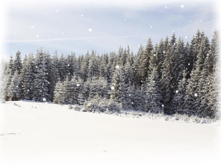 frostbitten: Snowing in winter fir trees