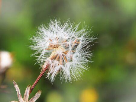 blinking: spring background with white dandelion.