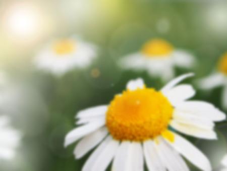 margarite: white flower blurred background