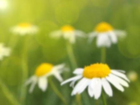 margarite: daisy  flower blurred background