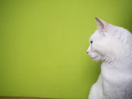 whiskar: white cat background