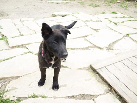 mixed breed: black dog labrador mixed breed