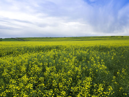 fulfill: Yellow field of rape plant