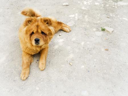chow: Brown chow chow dog